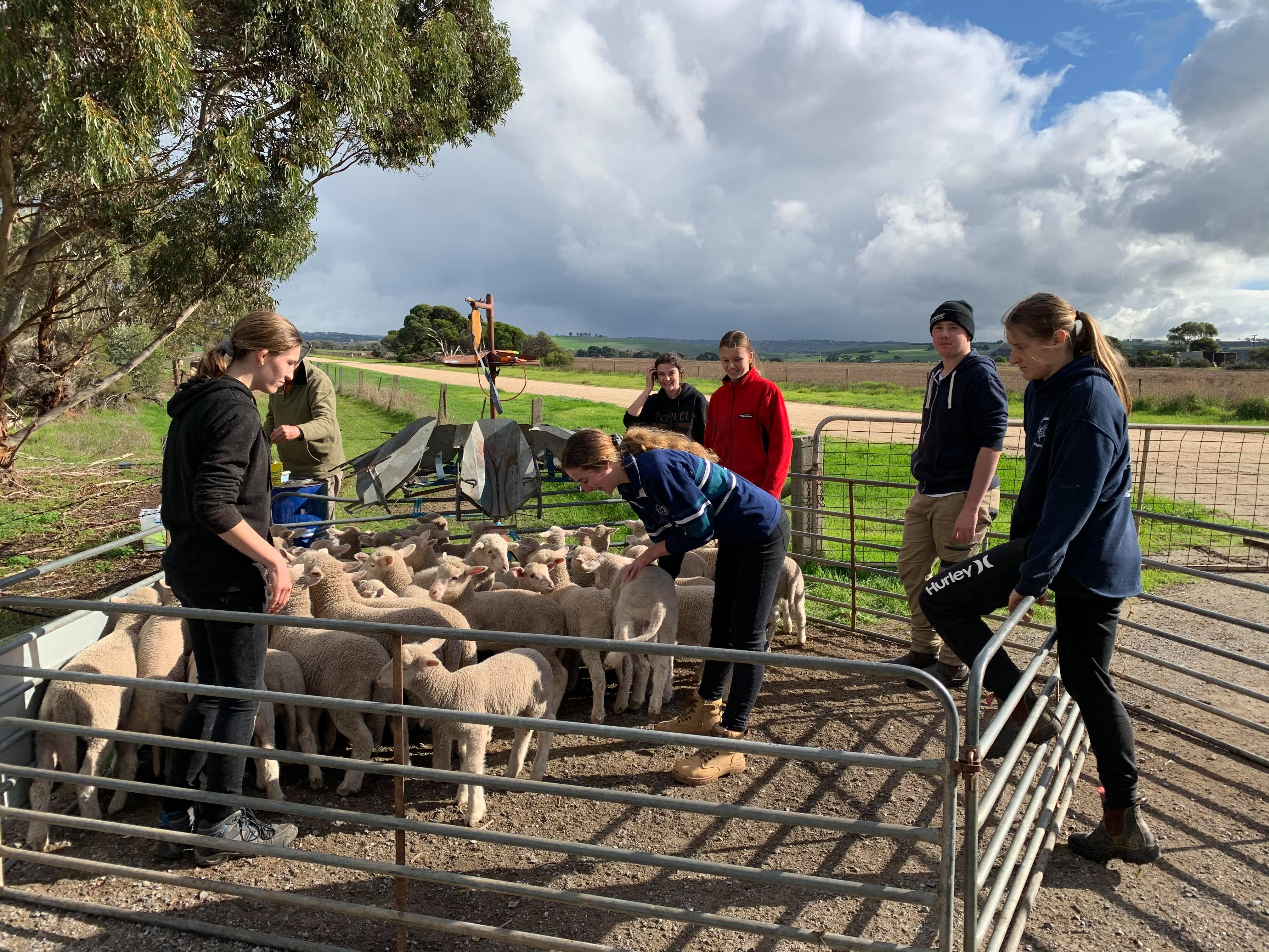 Year 11 Agriculture Lamb Marking | 2020