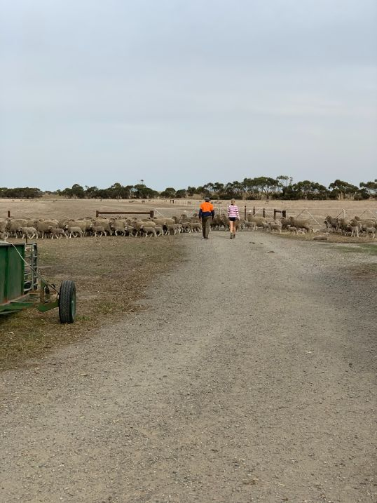 Year 11 Agriculture Lamb Marking   2021
